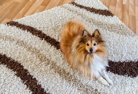 ペットとカーペット