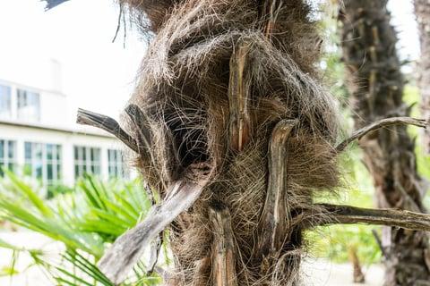 棕櫚 シュロ 皮